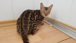 Bengal kittens for sale. All Ukraine