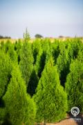 Thuja emerald wholesale from Poland